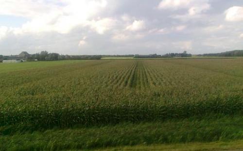 maïs op schiermonnikoog 25-08-2012